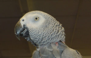 Buddy the Parrot